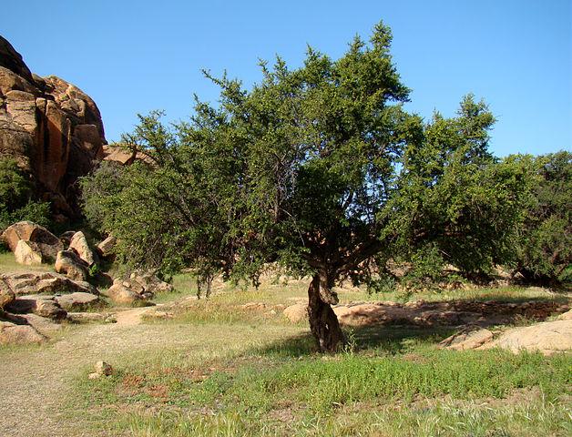 628px-Argan_Tree_near_Tafraoute